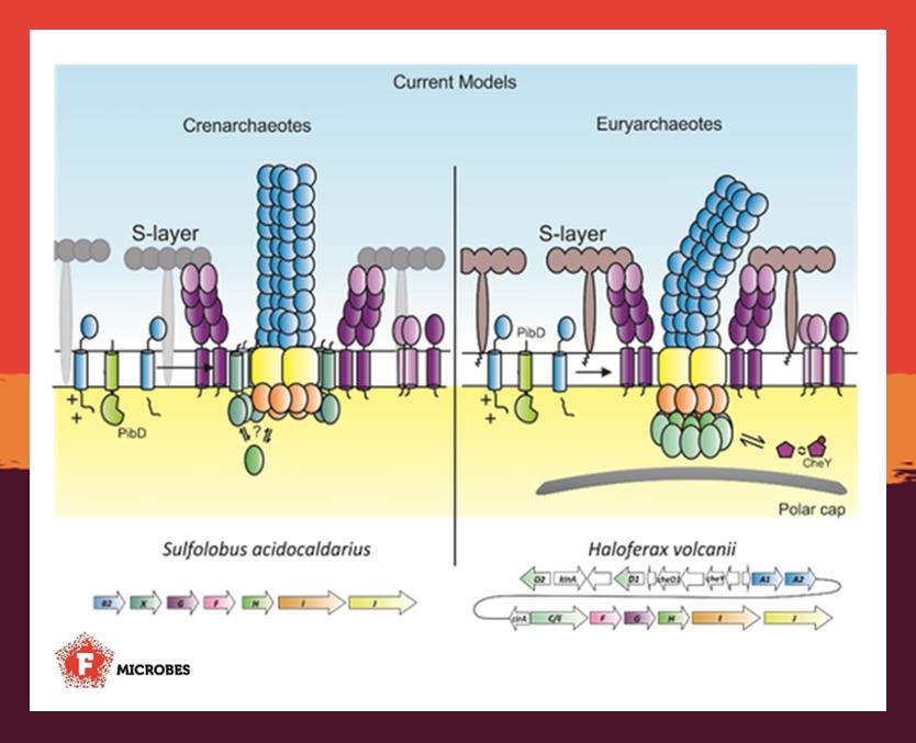 Current models of the archaellum nanomachine.